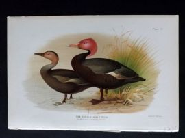 Baker & Gronvold Indian Ducks 1908 Antique Bird Print. Pink Headed Duck